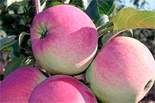 Яблоня веньяминовское: читаем во всех подробностях