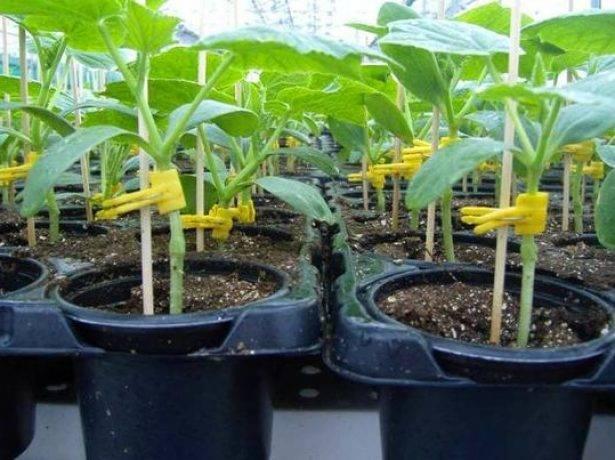 Выращиваем тыкву через рассаду: немного труда, и богатый урожай ваш!