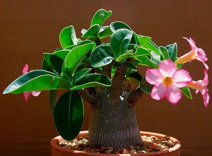 Адениум — роза пустынь