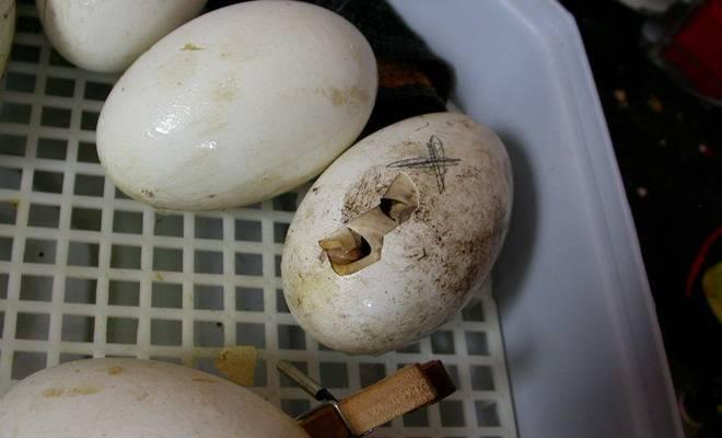 Правила выбора гусиных яиц и их овоскопирование по дням