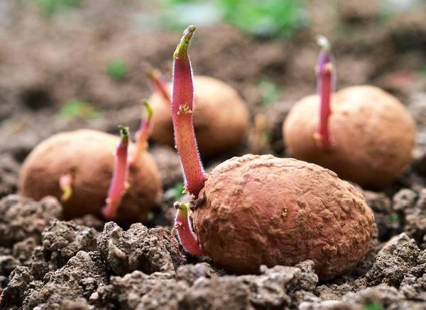 Какие сорта картофеля самые вкусные и урожайные?