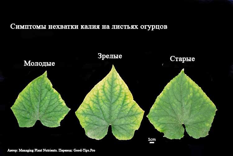 Почему желтеют листья у огурцов: что делать, чем обработать