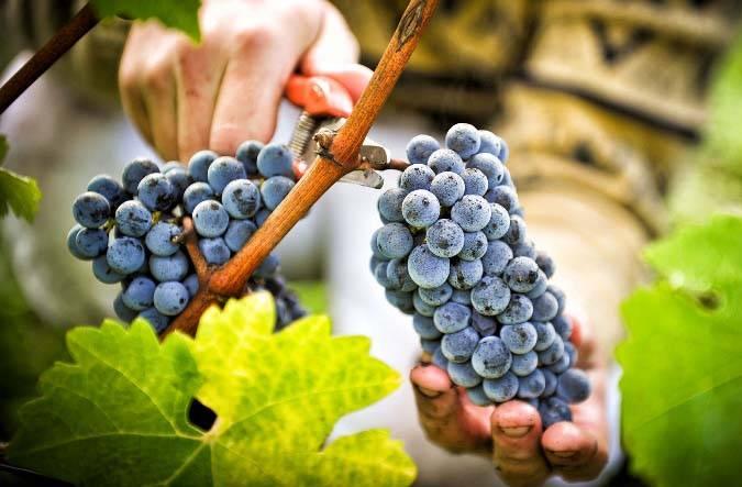 Виноград вэлиант: описание сорта, фото, отзывы
