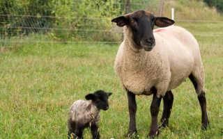 Суффолк – овцы с повышенной продуктивностью, описание экстерьера 2021