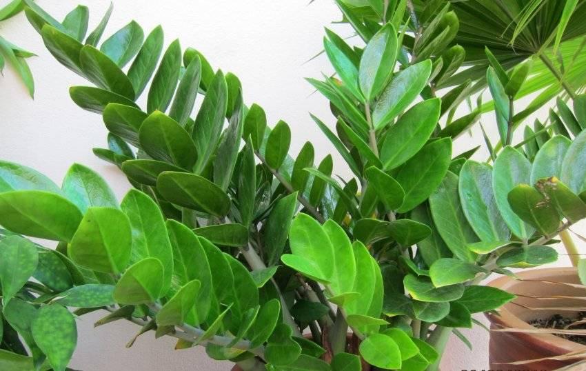 Замиокулькас — пересадка долларового дерева
