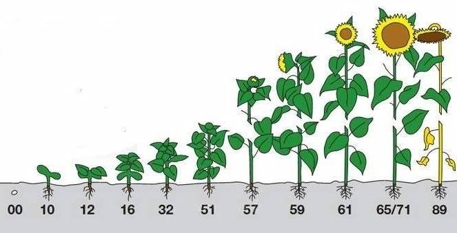 Как вырастить подсолнух на даче, посадка и уход