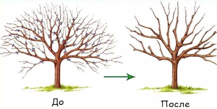 Обрезка грецкого ореха: весной, осенью, формирование кроны
