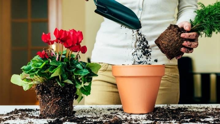 Когда пересаживать комнатные цветы - в какое время можно, лунный календарь и инструкция