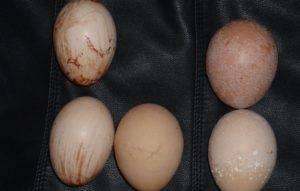 Почему у куриных яиц тонкая скорлупа и что делать