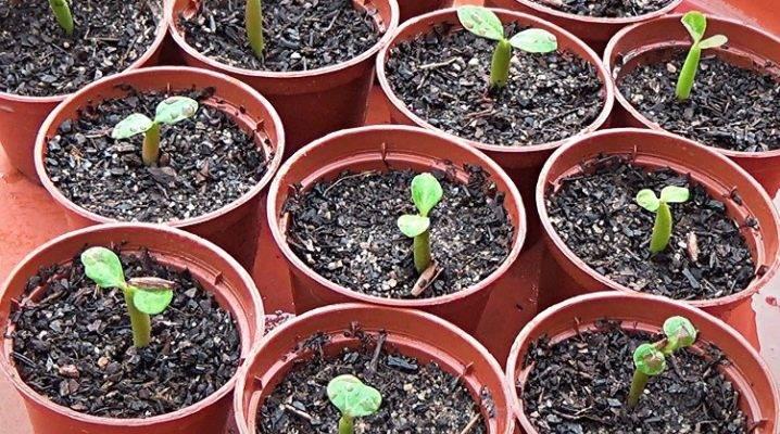 Как вырастить Адениум из семян — простая инструкция