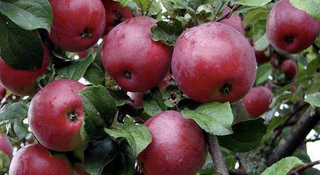 Сорт яблони Осенняя радость