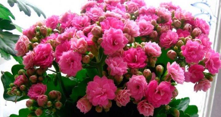 Каланхоэ лечебный цветок: болезни, цветение, уход в домашних условиях, пересадка, какой грунт использовать