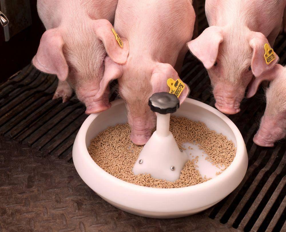 Корм для свиней: как и чем кормить свиней, расход, состав, нормы