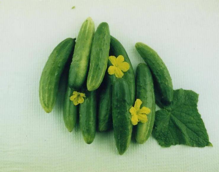 Огурец барабулька: отзывы дачников, фото грядок, описание плодов и метода их выращивания