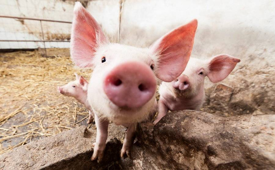 Патологоанатомические изменения при заболевании животных африканской чумой свиней. курсовая работа (т). сельское хозяйство. 2013-11-20