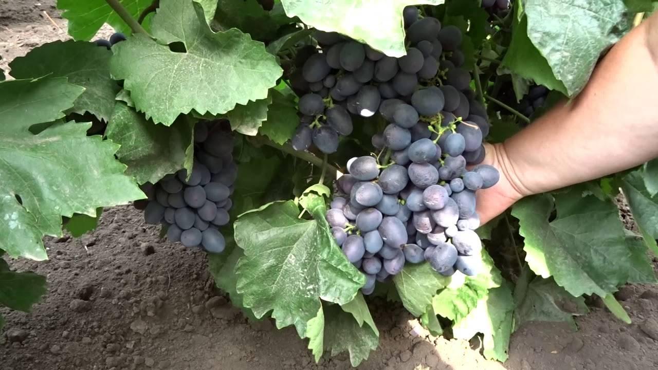 Описание и характеристики сорта винограда гала, история и тонкости выращивания - о цветах