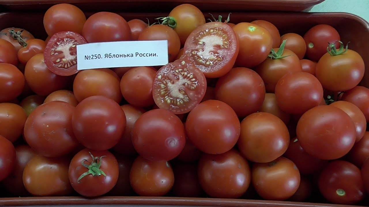 Описание и характеристика сорта томатов яблонька россии, урожайность и выращивание