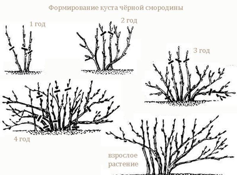 Черная смородина: обрезка и уход осенью схема