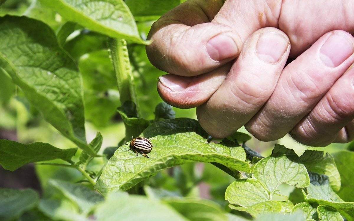 Методы борьбы с колорадским жуком