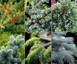 Каталог хвойных растений для вашего сада (75+ фото) +отзывы