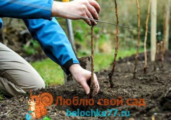 Пересадка малины: как и когда пересаживать куст на новое место, весной или осенью лучше проводить процедуру