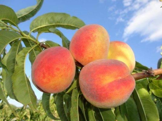 Описание сорта абрикосов персиковый и характеристика морозоустойчивости, достоинства недостатки