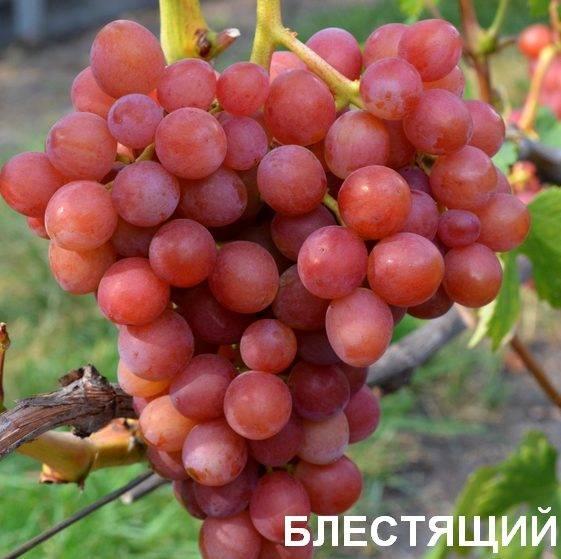 Самые устойчивые сорта винограда к болезням и вредителям и их описание