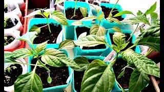Почему на рассаде перцев появились пупырышки