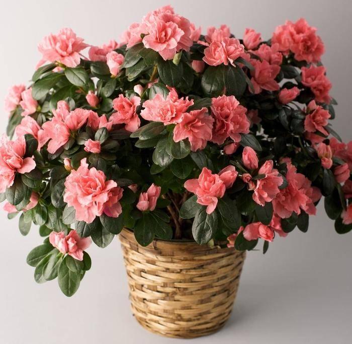 Цветение азалии в домашних условиях, правила ухода
