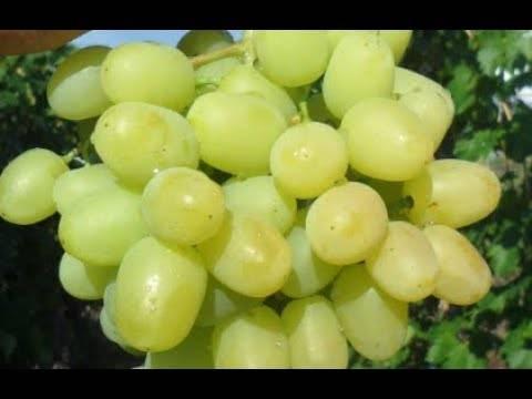 Сорт винограда дарья: фото, отзывы, описание, характеристики.