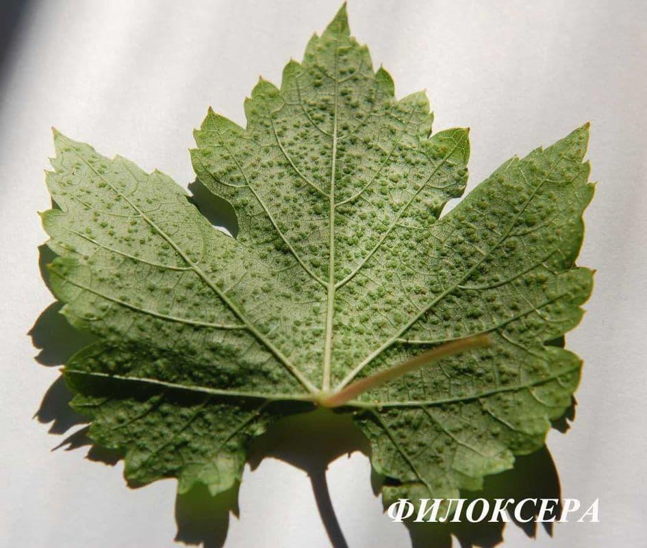 Лечение филлоксеры на винограде: методы борьбы, фото