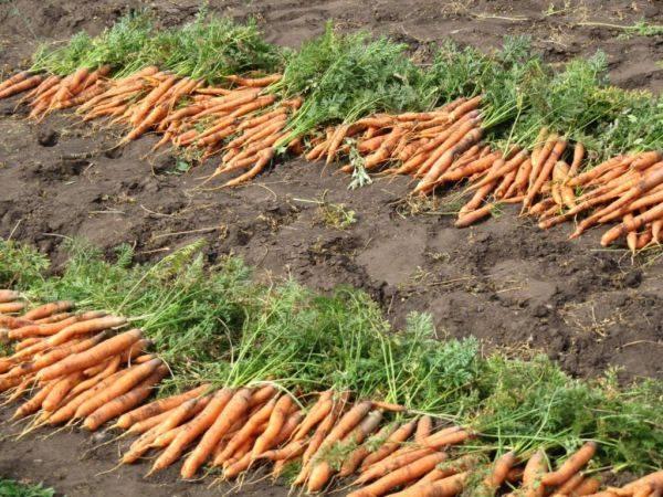 Благоприятные дни для уборки моркови и свеклы в 2020 году: когда убирать урожай на хранение