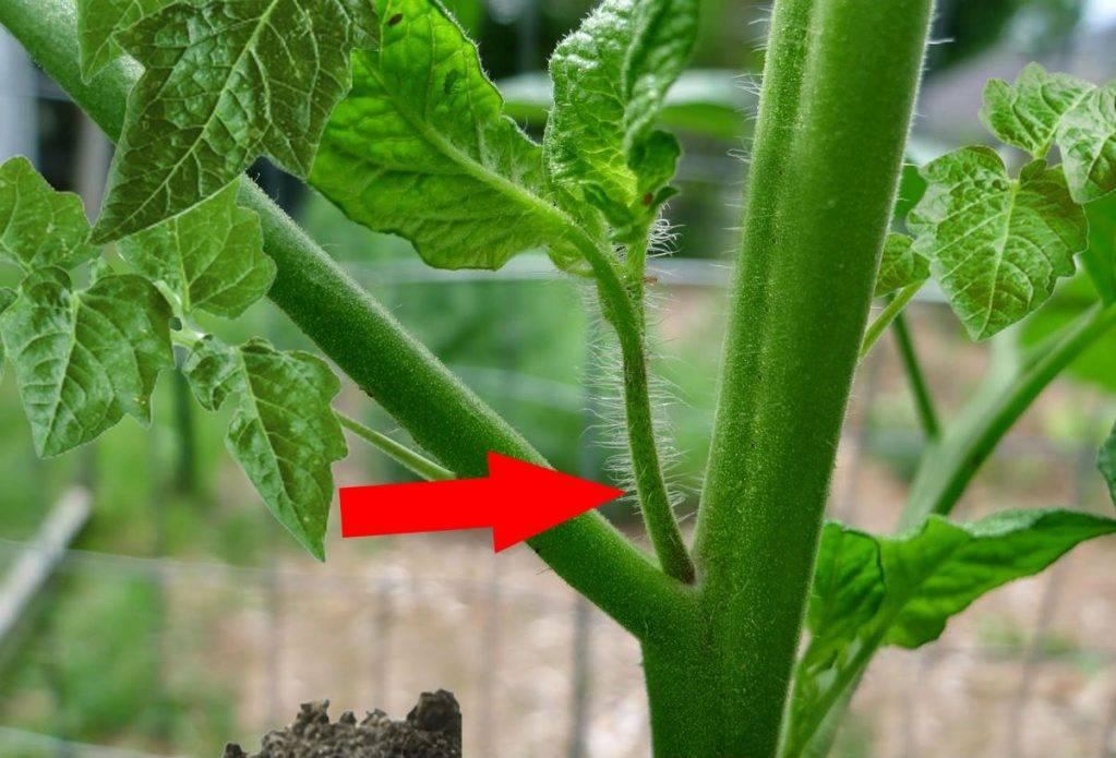 Как пасынковать помидоры – правильно, в теплице, открытом грунте, пошаговое фото, схема, видео