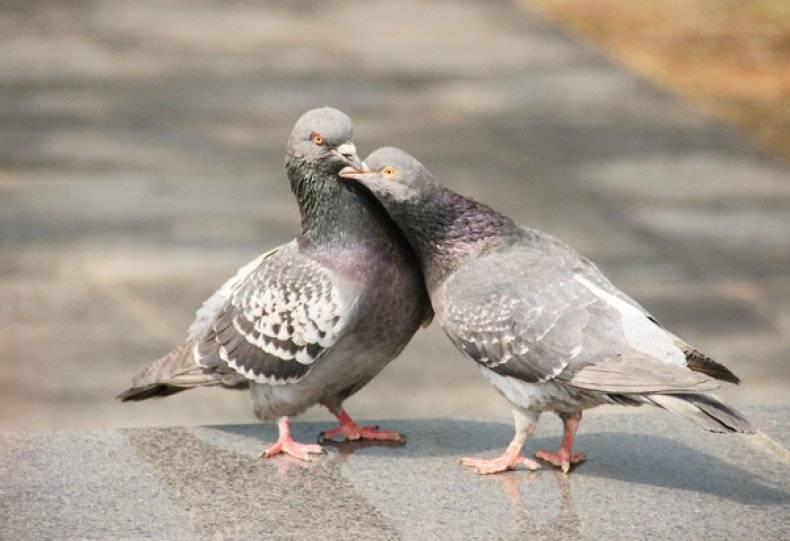 Вирусвакцина против ньюкаслской болезни из штамма ла-сота: инструкция для птиц
