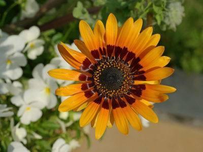 Венидиум выращивание из семян посадка и уход фото видов и сортов болезни и вредители