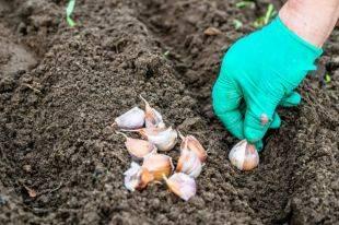 Время посадки чеснока на зиму в беларуси | мой сад и огород