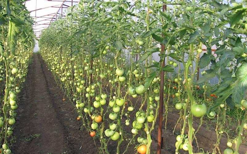 Как подвязывать помидоры в теплицах: подробная инструкция