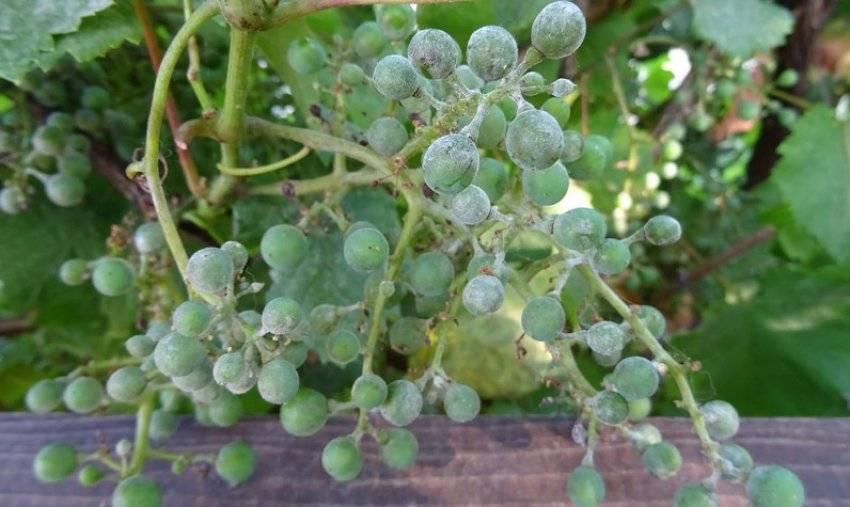 Лучшие сорта розового винограда с описанием и фото