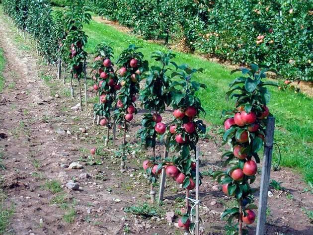 Яблони на урале — секреты посадки и выращивания здоровых деревьев