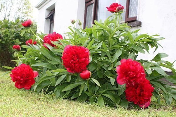 Все об уходе и посадке пионов в открытый грунт: как вырастить, когда сажать