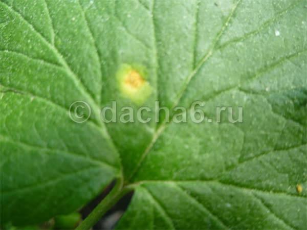 Бурые пятна на листьях смородины — причины и способы лечения