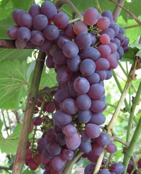 Описание сорта винограда запорожский кишмиш: отзывы и фото