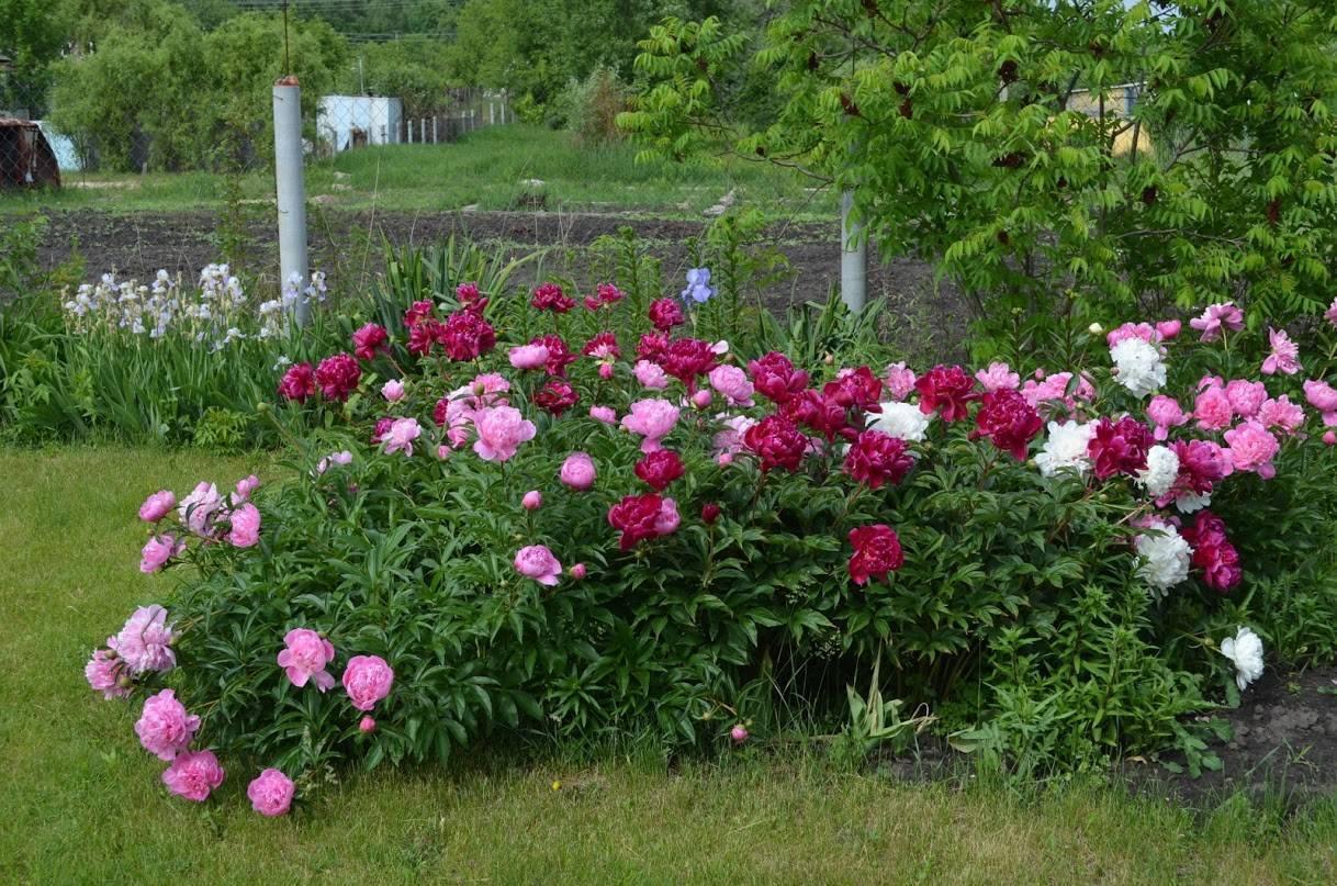 Пионы: посадка и уход в открытом грунте, когда сажать цветы?