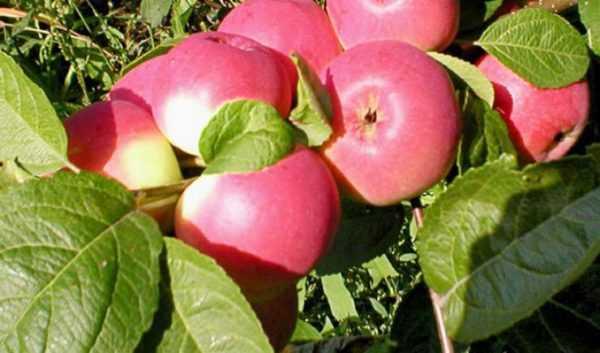 Яблоня богатырь: фото и описание сорта, отзывы