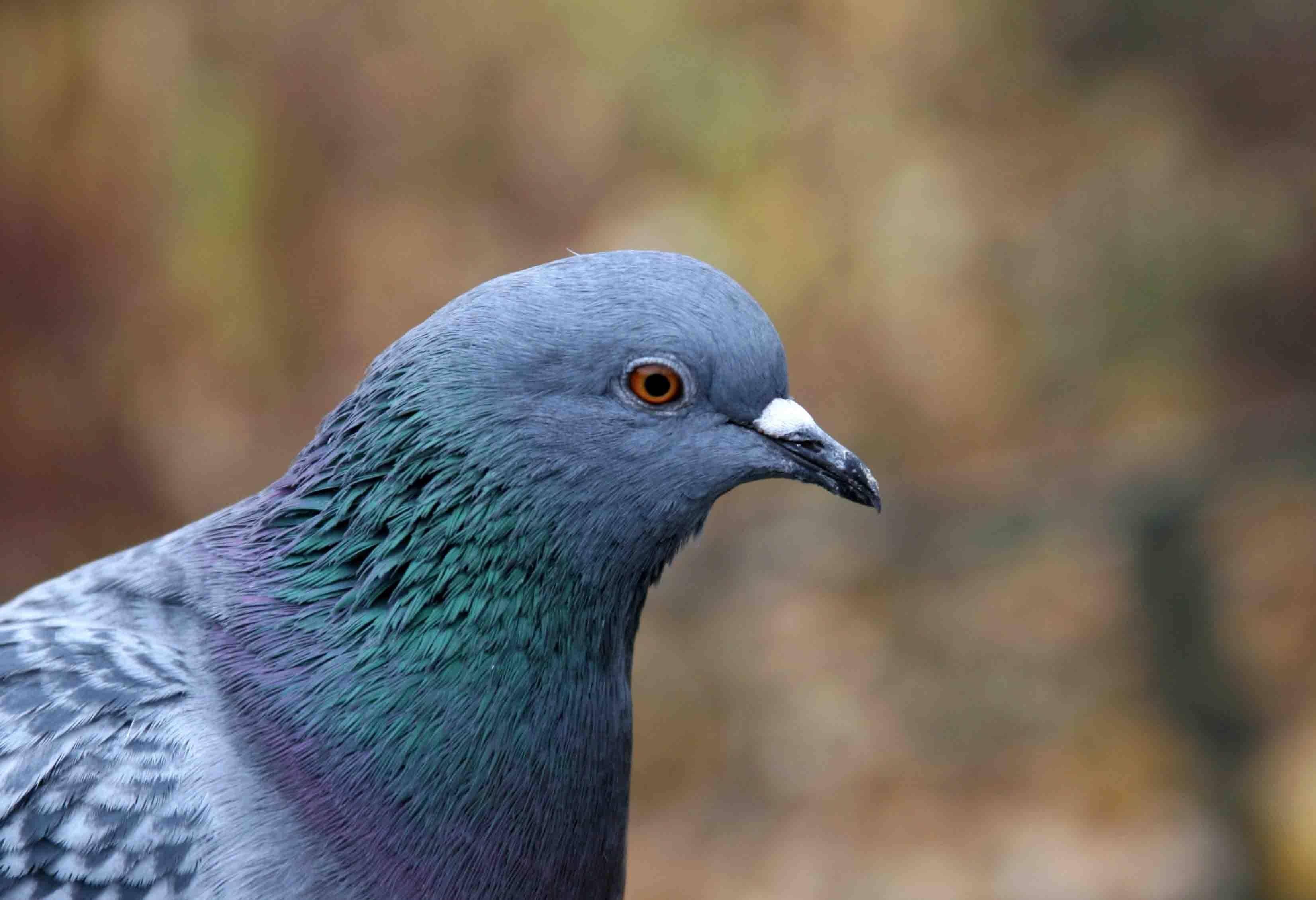 Красота и необычность диких голубей
