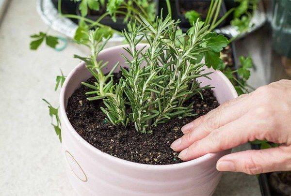 Выращивание розмарина в условиях квартиры - приятные тяготы ухода