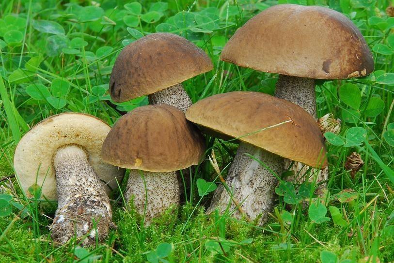 Съедобные грибы – фото, название и описание для детей и взрослых