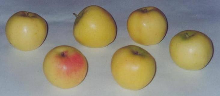 Яблоня июльское черненко: описание, фото, отзывы