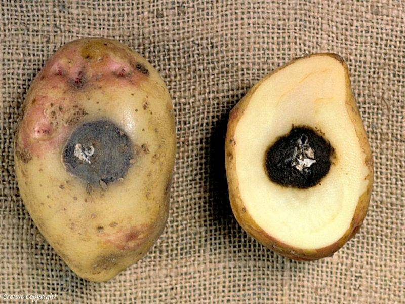 ᐉ сухая, мокрая и другие картофельные гнили – методы борьбы - roza-zanoza.ru