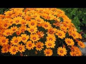 Мшанка шиловидная: выращивание из семян, посадка и уход, фото